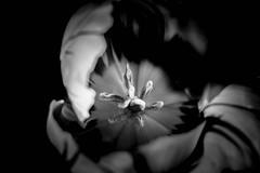 17/52 - Shadowplay by Joy Division (wonderfully covered by The Killers) (susivinh) Tags: shadow blackandwhite flower blancoynegro monochrome dark monocromo flor sombra tulip joydivision shadowplay thekillers oscuro tulipan 52weeks