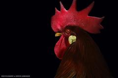 Hahn (Erwin Lorenzen) Tags: rot animal outdoors natur cock elo haustier bauernhof tier vogel hahn hahnenkamm gockel federn federvieh canoneos5dmarkii