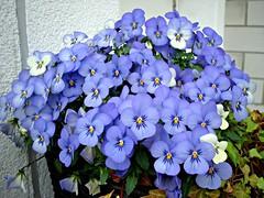 Blue pansies (Deejay Bafaroy) Tags: flowers blue blossoms pansy blumen tufted blau bedding blten horned hornveilchen