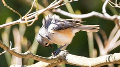 7K8A3862 (rpealit) Tags: park new bird nature scenery wildlife jersey titmouse tufted
