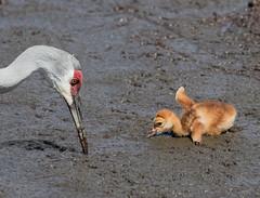 Sandhill Cranes In The Mud (ruthpphoto) Tags: crane avian sandhillcrane
