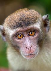 Portrait of a Long-tailed Macaque (Rob Kroenert) Tags: park wild portrait up animal monkey eyes asia long close wildlife national jungle sarawak malaysia borneo southeast malaysian tailed bako macaque bakonationalpark