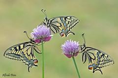 Papilio machaon (tris) (Explore) (alfvet) Tags: macro primavera nature nikon ngc butterflies natura npc fiori colori insetti farfalle parcodelticino platinumheartaward veterinarifotografi