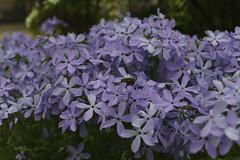 _DSC2027 (Osamu1965) Tags: flower japan zeiss garden spring sony contax jp   okayama     a7m2  carlzeissvariosonnart2870mmf3545mm