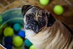 Bugsy (Emily Kistler) Tags: dog ballpit dogs animal closeup nikon florida pug indoors d750 bugsy clearwater