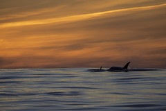 Sunset with Killer Whales (toryjk) Tags: ocean california sunset wild monterey pacific wildlife free montereybay pacificocean whale orca killerwhale whalewatching orcinusorca cetacean mbww ptsurclipper