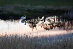 Evening Falls (Mac ind g) Tags: reflection bird scotland spring swan reservoir muteswan cygnusolor eastrenfrewshire neilston lintmilldam
