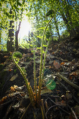 Young farn is growing up... (FarbenfroheWunderwelt) Tags: summer nature forest canon 50mm natur pflanze young grn wald farn