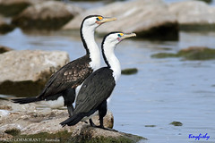 1V4A6607vpXL (tinyfishy (Storage Site Only)) Tags: australian australia cormorant pied australasian
