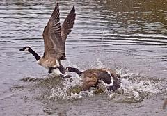 Squabblers (dolorix) Tags: see geese pond canadagoose quarrel kanadagans gnse streit saalermhle dolorix streithhne squabblers