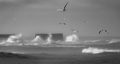 Birds - 1 of 100 (linlaw39) Tags: morning sea sunlight seagulls birds mono scotland blackwhite waves aberdeenshire stormyweather fraserburgh northeastcoast image1100 project100x sonydschx90 100xthe2016edition 100x2016 9thjan2016 09012016