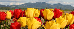 Mount Vernon WA - Skagit Valley - tulips (BlackShoe1) Tags: flowers red flower sunshine yellow washington tulips wash tulip wa skagitvalley