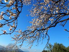 I regali della natura, che bellezza. (giadamulas) Tags: sky white flower tree nature beautiful amazing almond natura fiori viva bianco vita mandorlo beautifulplace purezza piceofsense