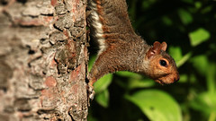 POSING JUST FOR YOU (SHARKYRAY) Tags: squirrel wildlife cureuil faune lavalqubec