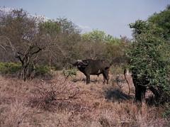 Hi dude (chillbay) Tags: africa southafrica buffalo krugernationalpark kruger tandatula krugerafrica