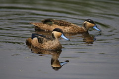 Marievale Bird Sanctuary (atlas1gp) Tags: teal hottentot marievale