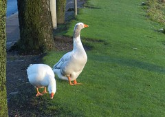 Two Geese, Riverside Drive, Aberdeen, 9th Jan 2016 (allanmaciver) Tags: trees two white birds drive scotland geese colours riverside aberdeen welcome pleased allanmaicer