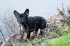 DSC_0031 (alexchabrier) Tags: dog chien french bulldog franais bouledogue frenchi frences