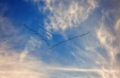 Even a blind squirrel (builder24car) Tags: sky birds geese perspective lookingup vformation pinehallnorthcarolina