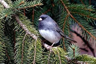 Dark-Eyed Junco in Spruce Tree