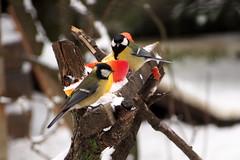 csemegz szncinkk / titbit for Great Tits (debreczeniemoke) Tags: winter bird garden greattit parusmajor kert tl paridae kohlmeise cinciallegra msangecharbonnire madr szncinege szncinke piigoimare cinegeflk olympusem5