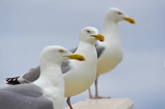 Three gulls (Jan van der Wolf) Tags: birds three gull depthoffield repetition meeuw meeuwen unsharp herringgull drie zilvermeeuw herhaling scherptediepte map113407v