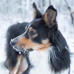 Snow at last (Bas Bloemsaat) Tags: winter portrait dog snow collie sheepdog bordercollie