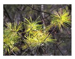 Sunshine on pine needles (elenashen5) Tags: leaves sunshine pine needle