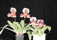 Two (fairrieanum x Thunder Cat)s (cieneguitan) Tags: flower flora lan ran orkid okid angrek anggerek