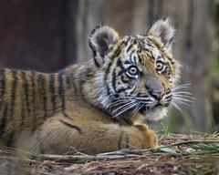 Eyes of Wonder (Penny Hyde) Tags: tiger bigcat sumatrantiger safaripark babyanimal flickrbigcats