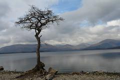 Lone tree at Loch Lomond (trungdong) Tags: greatbritain trees scotland unitedkingdom crops lochlomond fieldcrops farmcrops