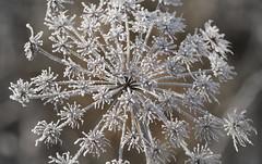 Sparkler (jump for joy2010) Tags: uk winter england ice nature weather flora frost january somerset firework sparkler dogwalk belowzero swt 2016 umbellifer somersetlevels somersetwildlifetrust catcottlows