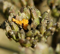 7 Spotted Ladybird-eggs (Annette Rumbelow) Tags: 7 depthoffield spots eggs ladybird spotted macroshots annetterumbelowwilson