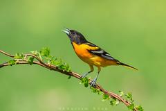 Add a little color (Khurram Khan...) Tags: wild summer birds ilovenature wildlife baltimoreorioles songbirds naturephotography birdphotography wildlifephotography ilovewildlife iamnikon khurramkhan