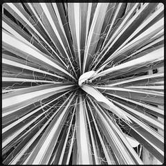 Gardens of Mueller AGMK7430 (woody lauland) Tags: nature austin garden texas tx austintx atx muelleraustin hipstamatic hipstaprint