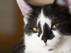 mozzarella (AnteKante) Tags: white black cat eyes kitty katze augen schwarz mozzarella miau oci weis macka crno bijelo mozzi