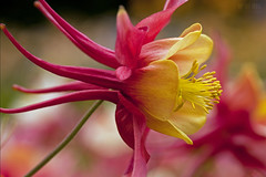 Columbine (Ian Sane) Tags: show road camera iris two abstract macro floral festival oregon canon garden lens ian photography eos is mark images ii 5d salem columbine usm brooks keizer sane f28l ef100mm quinaby schreiners