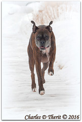 Snow Play (ctofcsco) Tags: winter boy usa dog pet brown white snow black male nature animal canon geotagged iso100 colorado unitedstates bokeh outdoor wildlife explore telephoto coloradosprings boxer northamerica 5d brindle 90 1500 f9 gleneyrie 2016 superzoom eos5d reversebrindle 140mm explored 35350mm insnow runninginsnow ef353503556lusm 5dclassic 5dmark1 5dmarki geo:lat=3893083778 geo:lon=10489145278