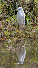 20160229-_74P0096.jpg (Lake Worth) Tags: bird nature birds animal animals canon wings florida outdoor wildlife feathers wetlands everglades waterbirds southflorida birdwatcher canonef500mmf4lisiiusm