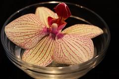 Orchide en cinq ptales, Orchid (francepar95) Tags: plant orchid rose plante floating vase orchide ptales rayures dtails corolle dlicatesse flottante phalanopsis
