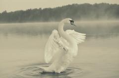 """ Higher "" #Dreilndersee# (Kalbonsai) Tags: bw mist water monochrome germany swan nikon nebel waterscape zwaan dreilndersee 55300mm d5100 naturphotography"