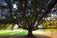 Fig 1:  illustration (dmunro100) Tags: morning light summer sunrise canon eos dawn bay fig australia wideangle adelaide parklands moreton 60d efs1018mmf4556isstm