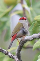 Red-browed Finch (Curtis Hayne Photography) Tags: australia nsw newsouthwales australianbirds redbrowedfinch terryhiehie curtishayne
