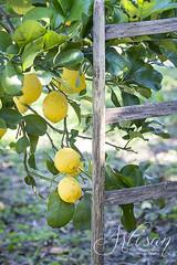 lemons (olimpia davies) Tags: light italy food colour nature fruits lemon fresh foodart foodphotography foodlovers fromgarden foodstyling foodphotographer foodstylist