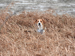 I'm over here! (LEALSWEE) Tags: dog foxhound hilbreisland west34