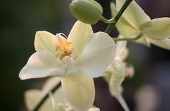 1980_MG_4512 (vincent alexandre bourzeix) Tags: nature fleurs garden orchids jardin nantes orchides