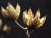 Hybiscus (Wim van Bezouw) Tags: plant nature dead leaf bud hybiscus selectiveconceptualdof