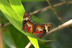 Malay Lacewings (Cethosia hypsea) (moloch05) Tags: malaysia taman negara