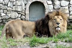 The King is Watching (Haku_Orka) Tags: italy parco animals cat zoo photo big support king italia lion land felini re della mammals leone animali foresta photograhpy mammiferi faunistico terrestri valcorba hakuorka