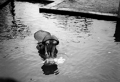 Hipo (Jusotil_1943) Tags: 1972 hipopotamo